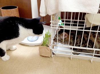 エルちゃん12日目 12猫草で親睦をはかる.jpg