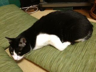 オットセイ猫 横-1.jpg