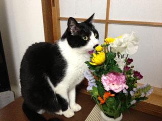 花と猫の三角帽子 1匂いを嗅ぐ -1.jpg
